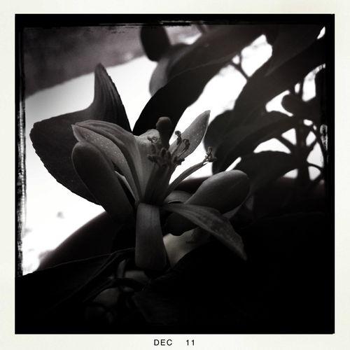 lemon bush flower