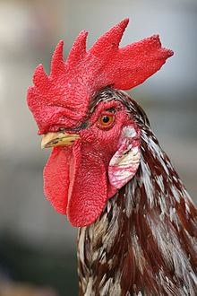 220px-Rooster_portrait2